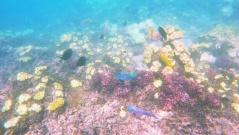 Great Barrier Reef - Fischis