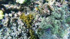 Great Barrier Reef - Nemo