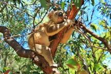 Magnetic Island - Koala